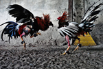 Illegal cockfighting ring busted in New York, nine arrests made