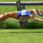 Greyhound racing to stay (for now) in West Virginia