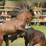 Gambling news, Horse fighting in Indonesia