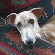 Harrah's offers Iowa $7M/year to put down puppies