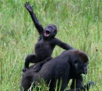 gorilla waving