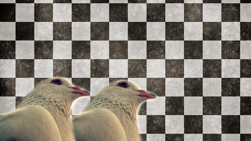 pigeon-racing-is-the-new-horse-racing