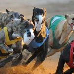 Live baiting scandal not a turn off for greyhound racing punters
