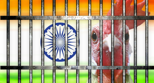 india-cockfighting-rooster-arrest