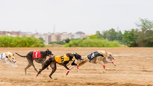 greyhound-races-in-west-virginia-could-become-a-thing-of-the-past