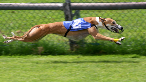 greyhound-racing-to-stay-for-now-in-west-virginia