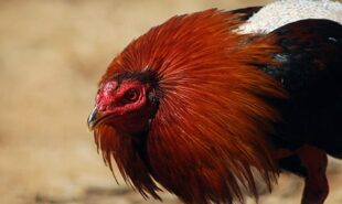 Close up of a game cock ready to attack.