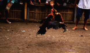 philippines-opens-the-door-to-legalized-online-cockfightin2
